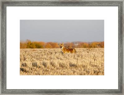 Coyote On The Hunt Framed Print by Shirley Heier