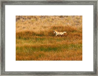 Coyote Pup Framed Print by Rebecca Adams