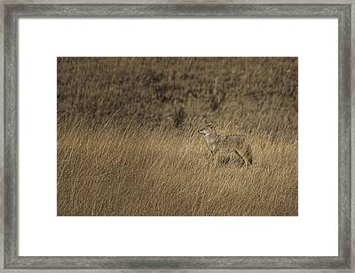 Coyote Standing In Field Of Dried Framed Print by Roberta Murray