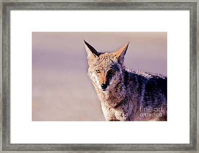 Coyote Stares Framed Print by Martha Marks