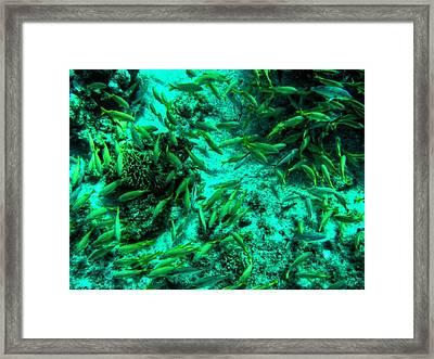 Cozumel - Grunt Fish 001 Framed Print by Lance Vaughn