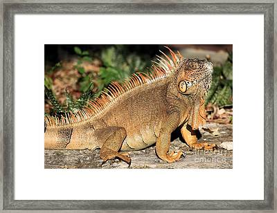 Cozumel Iguana Vacation Framed Print