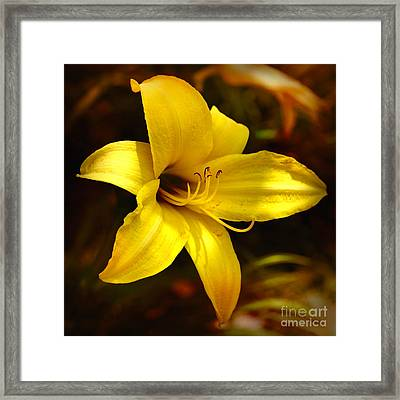 Cozy Yellow Daylily Framed Print by Carol Groenen