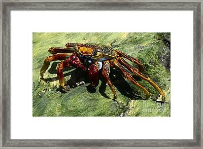 Crab Alert Brazil Framed Print