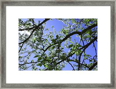 Crab Apple  Framed Print