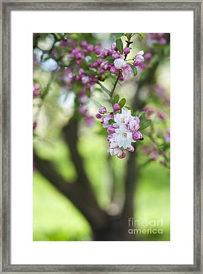 Crab Apple Snow Cloud Tree Blossom Framed Print by Tim Gainey