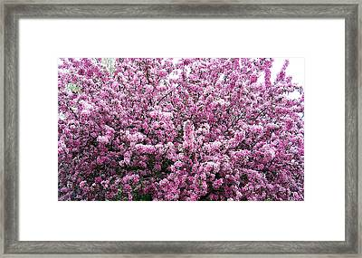 Crab Apple Tree Framed Print
