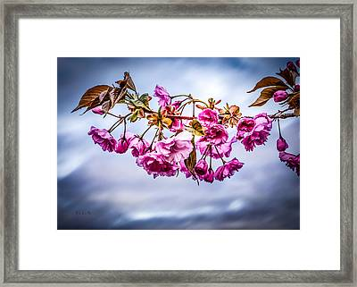 Crab Apple Tree Framed Print by Bob Orsillo