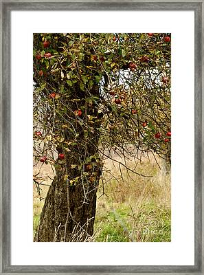 Crab Apples Framed Print by Nicki McManus