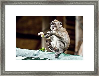 Crab-eating Macaque Framed Print