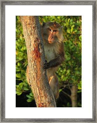 Crab Eating Macaque Framed Print by Ramona Johnston