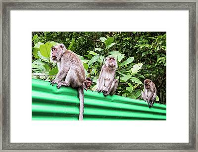 Crab-eating Macaques Framed Print by Paul Williams