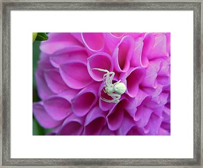 Crab Spider And Dahlia Framed Print