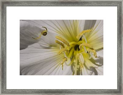 Crab Spider And Dune Evening Primrose Framed Print