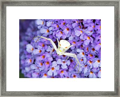 Crab Spider On A Buddleia Flower Framed Print by Louise Murray