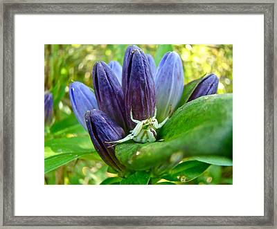 Crab Spider On Closed Gentian Wildflower - Gentiana Andrewsii Framed Print by Mother Nature