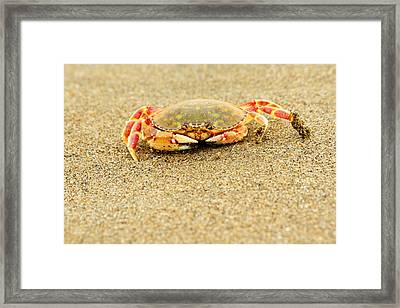 Crab Walk Framed Print by Rebecca Adams
