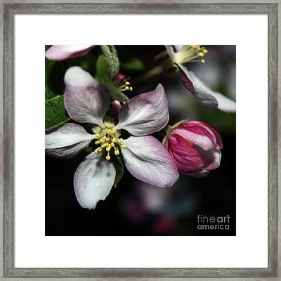 Crabapple Blossom Framed Print