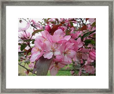Crabapple Blossom Framed Print by Carol Hoffman