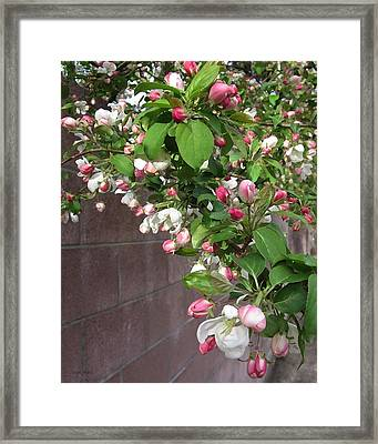 Crabapple Blossoms And Wall Framed Print
