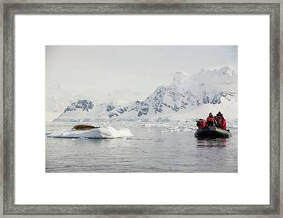 Crabeater Seal Framed Print