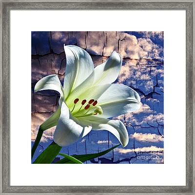 Cracked Paint Easter Lily Framed Print by Marjorie Imbeau