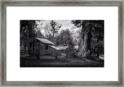 Cracker Barn And Gnarled Southern Red Cedar Framed Print
