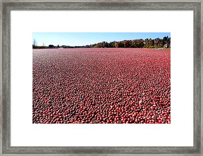 Cranberry Bog In New Jersey Framed Print by Olivier Le Queinec