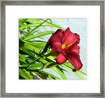 Cranberry Colored Lily Framed Print by Kay Novy