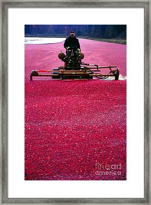 Cranberry Harvest Framed Print by Eva Kato