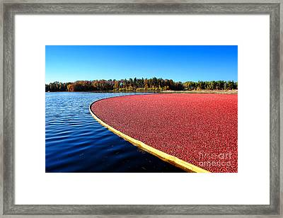 Cranberry Harvest In New Jersey Framed Print by Olivier Le Queinec
