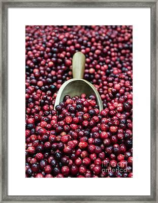 Cranberry Harvest Framed Print
