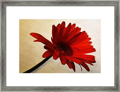 Cranberry Zinnia Framed Print by Sherry Allen