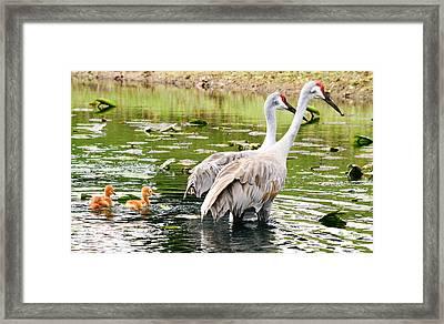 Crane Family Goes For A Swim Framed Print