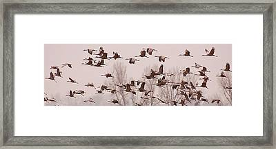 Framed Print featuring the photograph Cranes Across The Sky by Don Schwartz
