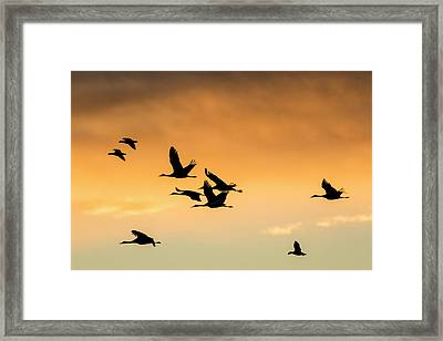 Cranes And Geese Flying, Bosque Del Framed Print by Maresa Pryor