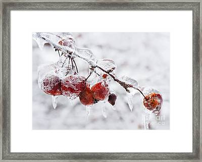 Crab Apples On Icy Branch Framed Print by Elena Elisseeva