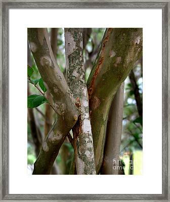 Crape Myrtle Branches Framed Print by Peter Piatt