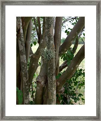 Crape Myrtle Growth Ball Framed Print by Peter Piatt