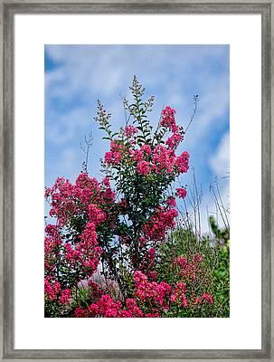 Crape Mytle Tree Blossoms Framed Print