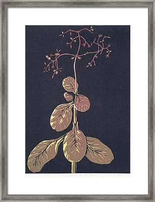 Crassula Multica Va Framed Print by C L Mvuku
