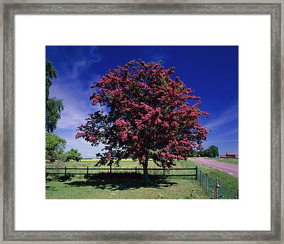 Crataegus Intricata. Framed Print by Bjorn Svensson/science Photo Library