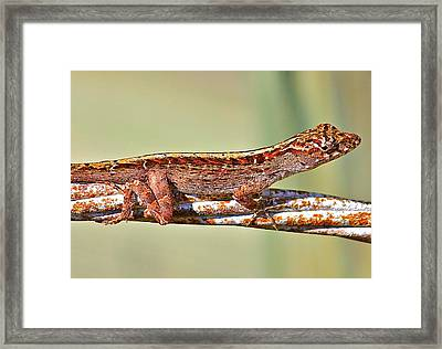 Framed Print featuring the photograph Crawling Lizard by Cyril Maza