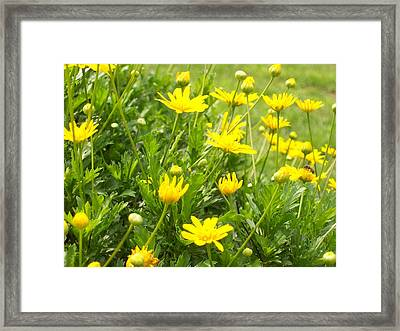 Framed Print featuring the photograph Crazy Daisies In Bloom by Belinda Lee