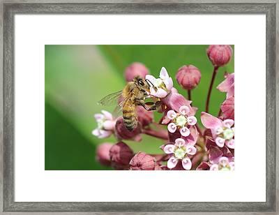 Crazy For Milkweed Framed Print by Lucinda VanVleck