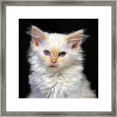 Cream Siamese Kitten Framed Print by Catherine Sherman