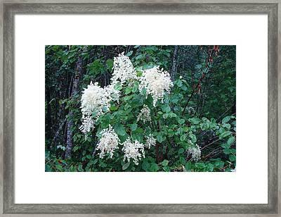 Creambush Oceanspray Framed Print