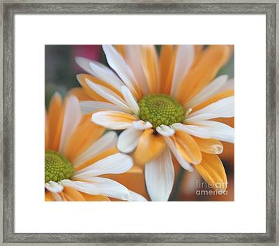 Framed Print featuring the photograph Creamsicle Daisies by Mary Lou Chmura