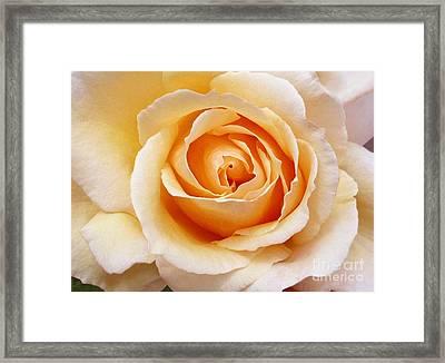 Creamy Orange Rose Blossom Framed Print