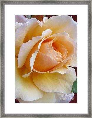 Creamy Pastel Orange Rose Framed Print